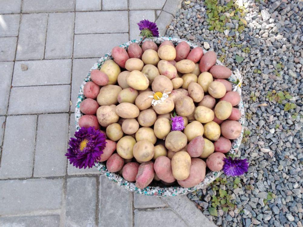Из картошки может получиться отличная клумба.