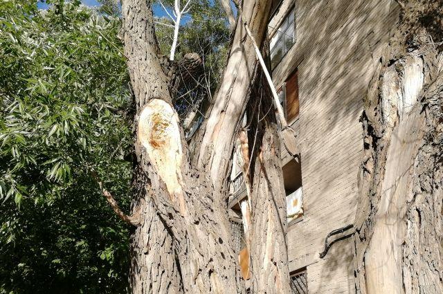 Такие деревья влекут опасность для людей.