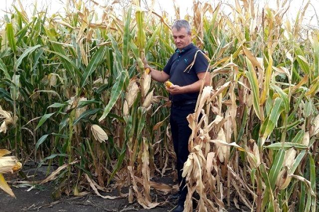 Первые гектары кукурузы сеяли с опаской, но собранный урожай развеял все опасения.