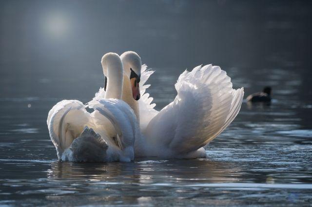 Лебеди каждый год задерживаются на водоемах Пермского края до прихода первых серьёзных заморозков.