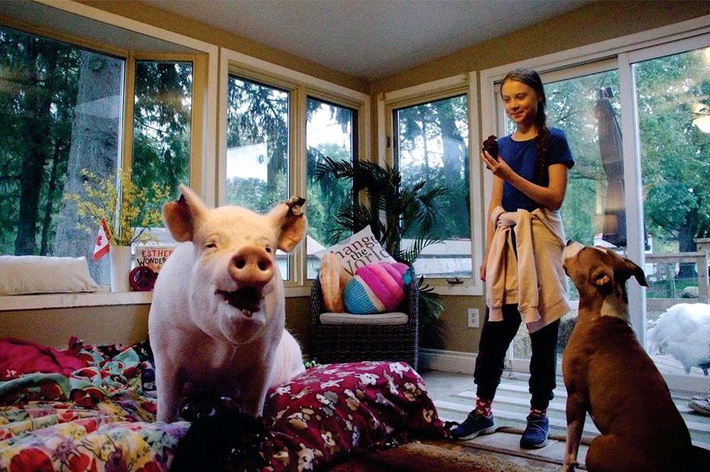 Активистка Грета Тунберг во время визита в приют для животных в Кэмпбеллвилле, Канада. Слева — чудо-свинья Эстер (Esther Wonder Pig).
