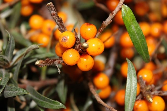Сибирские ягоды - кладесь витаминов.
