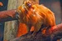 Один малыш появился у золотистых львиных тамаринов – это очень важное событие для вида, ведь эти приматы находятся на грани исчезновения.