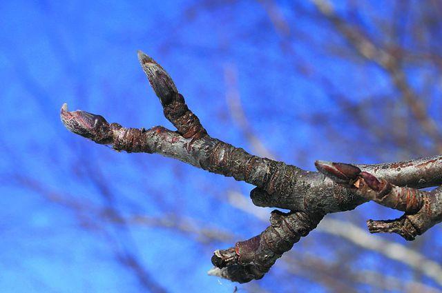 Жители Ноябрьска в октябре сфотографировали цветущую рябину