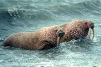 На берегах Ямала зафиксировали рекордное количество моржей