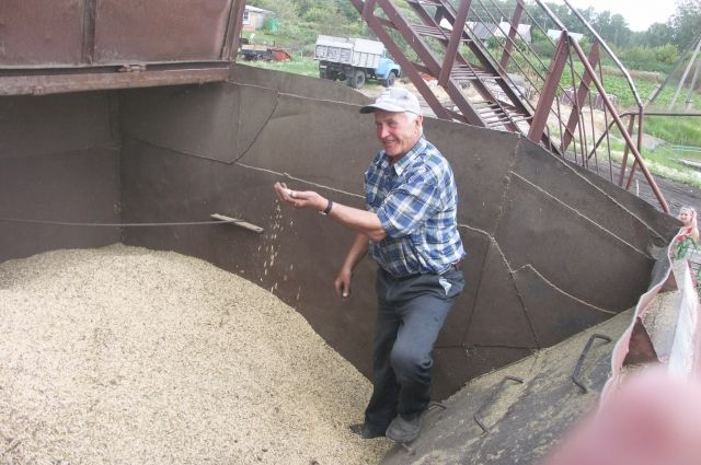 Пшеница выросла как на подбор!