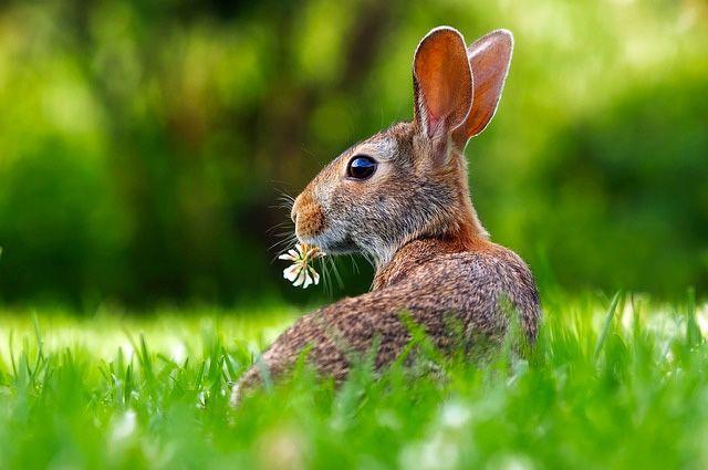 Пушистая угроза. Как защитить участок от зайцев?