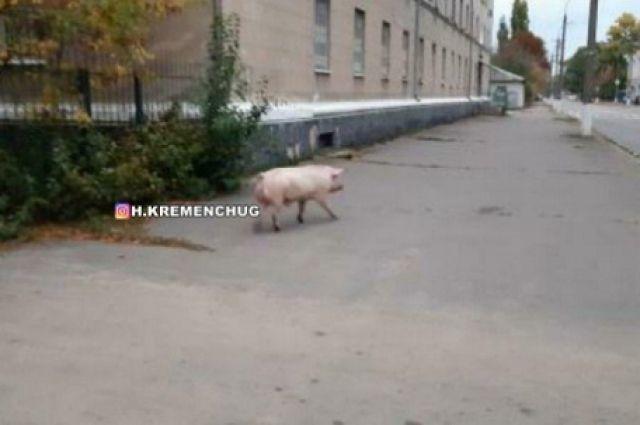 В Кременчуге по улицам города гуляла неизвестная свинья