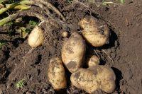 В ЯНАО сельхозпредприятия окончили сбор картофеля