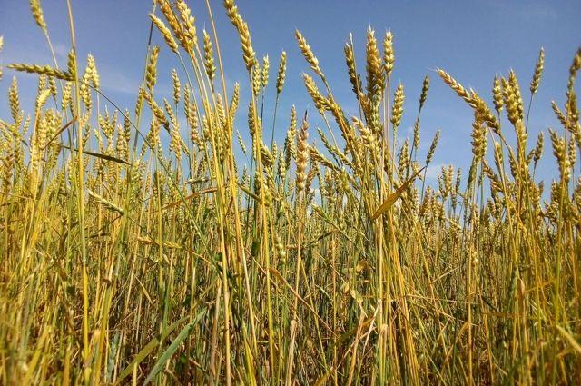 Тюменские хлеборобы по показателю урожайности занимают первое место в УФО