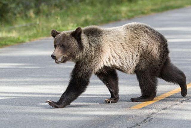 С начала сезона в регионе отстрелили больше 100 медведей.