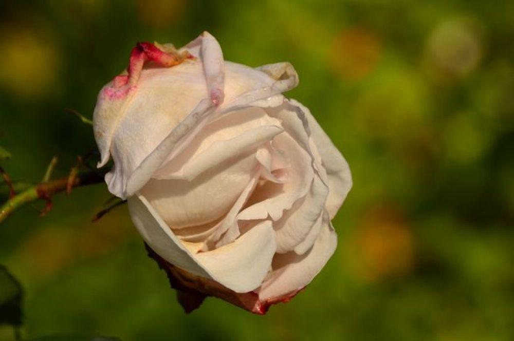 Цветы доживают свои последние дни красоты.