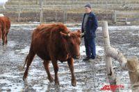 Во время комиссии на предприятии обнаружили многочисленные нарушения. Крупный рогатый скот содержался в антисанитарных условиях.
