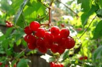Горький урок. Почему осенние ягоды едят только после заморозков?