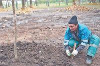Во время посадки новых растений специалисты подвязывают к опоре и поливают каждое дерево.