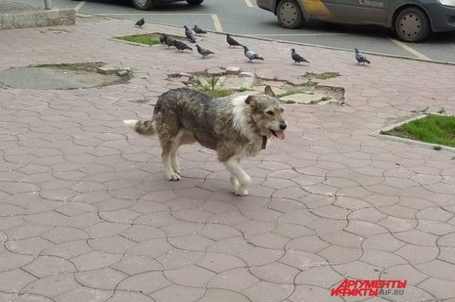 Бродячий пёс напал на собаку пермячки и укусил за щёку.