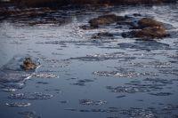 В Лабытнанги на реке, покрывшейся льдом, едва не погиб лебедь