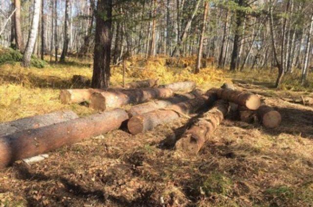 Каждое срубленное дерево полицейские оценили почти в 100 тысяч рублей!