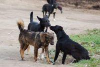Бездомные собаки, которые сбиваются в стаи, могут быть опасны, поэтому кинологи советуют по возможности обходить их.