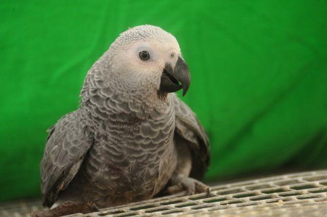 Сначала попугай примкнул к воробьям и голубям, ищущим корм на земле, а затем улетел на дерево.