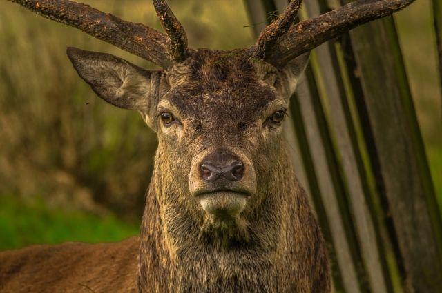 Под Бузулуком в поле обнаружен олень.