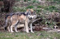 Волки приходят в посёлок и нападают на собак.