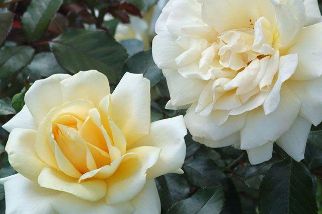 Ароматные чайные розы.