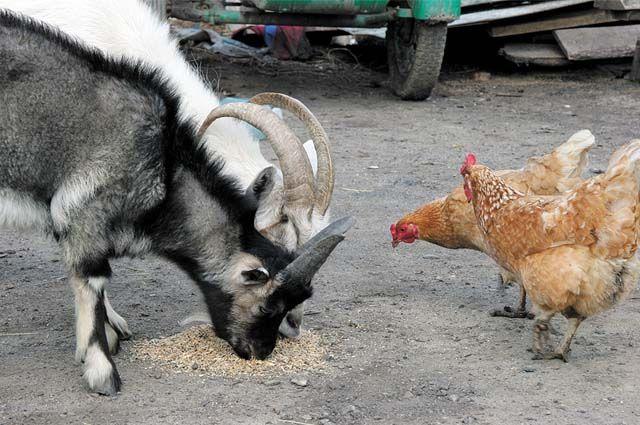 Чтобы животные не голодали, на условную голову должно приходиться не менее 13 центнеров корма.