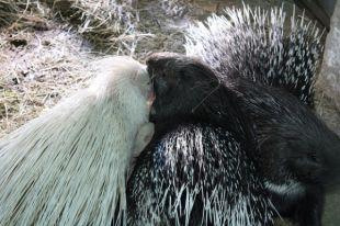 Длинный нос и цепкий хвост у новых обитателей зоопарка