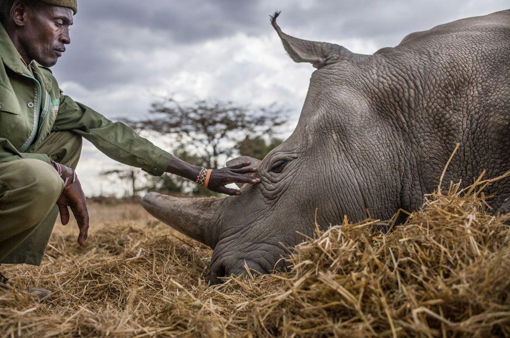 Серия работ, рассказывающая историю Фату и Наджин — двух последних оставшихся в живых северных белых носорогов — и людей, охраняющих и заботящихся о них в заповеднике Ол Пейета в Кении.