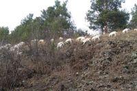 Домашние козлы похожи на своих сородичей - горных козлов.