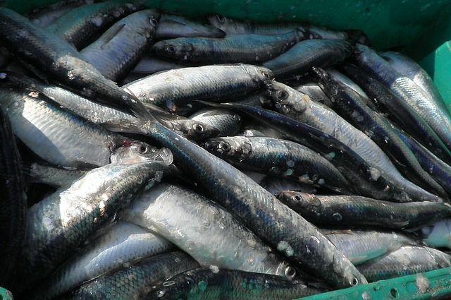 В область пытались с нарушениями ввезти 56 тонн рыбы с Фарерских островов