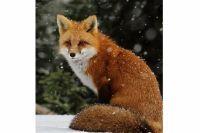 Основные переносчики бешенства - дикие лисы.