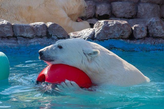 Для белых медведей, как и для всех животных в парке флоры и фауны созданы отличные условия