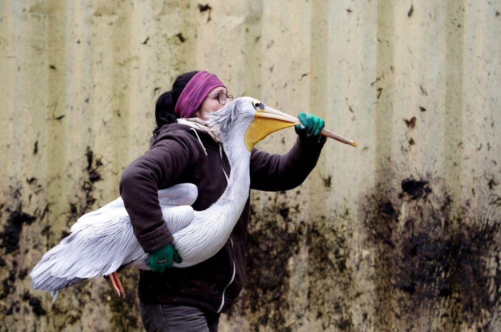 Работник зоопарка в Двур Кралове-над-Лабем переносит пеликана в зимний вольер, Чехия.