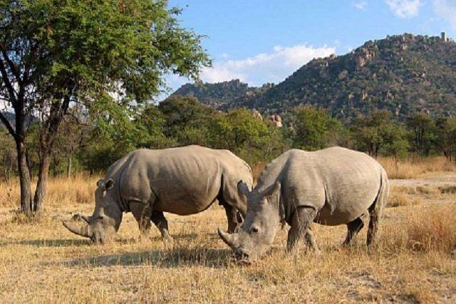 Ученые разработали искусственные рога для защиты носорогов от истребления