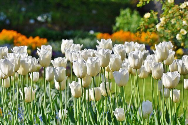На клумбах Светлогорска завершается высадка тюльпанов