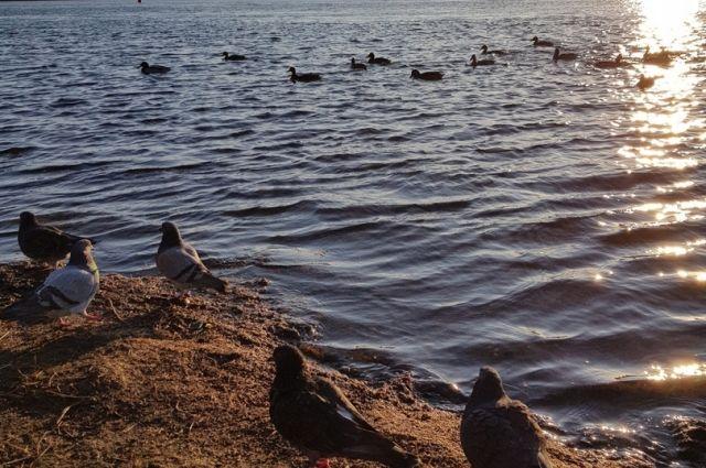 Водоплавающие птицы стали селиться у нас в 70-х годах прошлого века.
