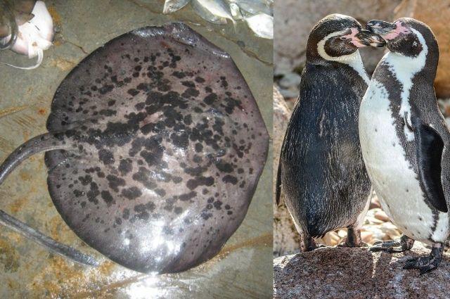 скат-хвостокол и пингвины Гумбольдта