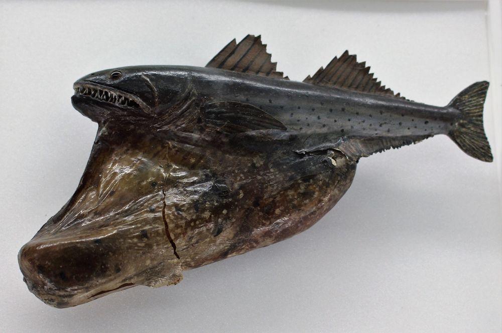 Черный живоглот. Еще одна жутковатого вида рыба обитает в тропических и субтропических водах по всем миру. Живоглот в состоянии проглотить добычу крупнее самого себя, при этом у него сильно растягивается желудок, а сердце смещается в сторону.