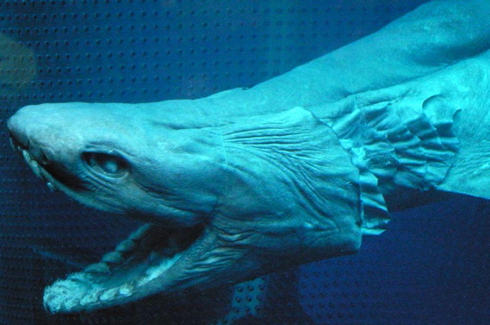 Плащеносная акула. Обитает в Атлантическом и Тихом океанах. Внешне больше похожа на морскую змею или угря, чем на других акул. И охотится она подобно змее, изгибая туловище и совершая резкий бросок вперед. Для человека опасности не представляет, поскольку охотится в основном на кальмаров и других головоногих.