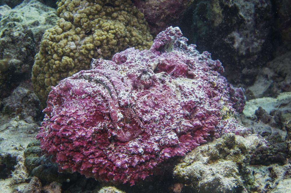 Рыба-камень или бородавчатка. Обитает на дне возле коралловых рифов и мимикрирует под них. Бородавчатка малоподвижна, обычно она лежит, забившись в щель между камнями или зарывшись в ил или песок. Из-за этого заметить ее практически невозможно, а между тем она считается наиболее опасной из известных ядовитых рыб.