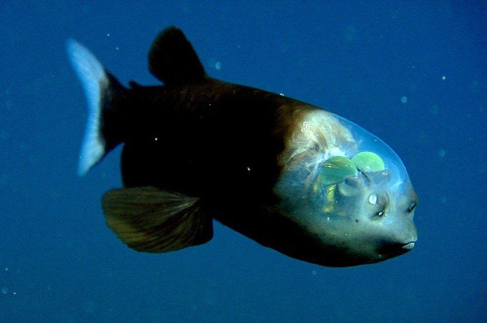Малоротая макропинна или бочкоглаз. У этой рыбы прозрачная голова, которая служит своего рода защитной оболочной для глаз, находящихся внутри нее. Таким образом, рыба может смотреть прямо сквозь голову, причем как в вертикальной плоскости, так и в горизонтальной. Глаза ее имеют ярко-зеленый цвет, а то, что на фото на первый взгляд кажется глазами, на самом деле — органы обоняния.