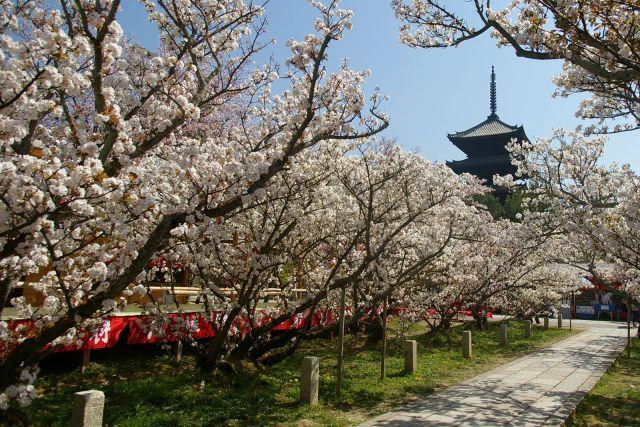Власти Японии отменили прием любования сакурой в 2020 году