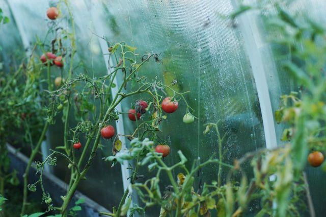 у новосибирцев всегда есть возможность иметь на своём столе свежую зелень и овощи, словно только что сорванныне с грядок