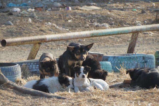 Около трёхсот собак были стерилизованы и выпущены в среду обитания.