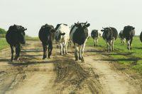 Несмотря на проблемы с господдержкой, поголовье крупного рогатого скота растёт