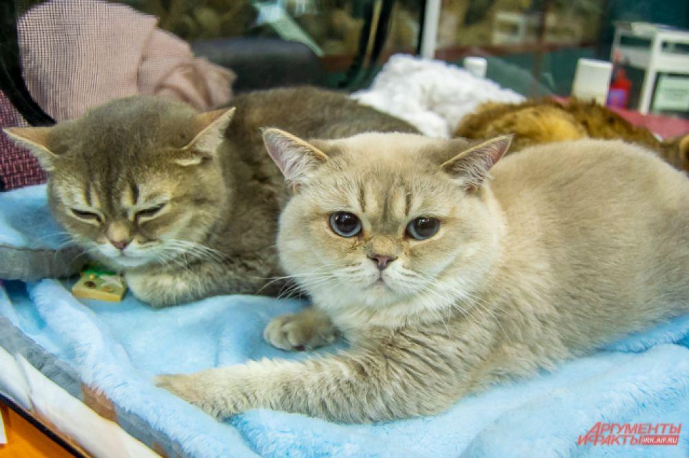 Ярмарка-продажа котят культурных пород прошла в Иркутске 10 ноября
