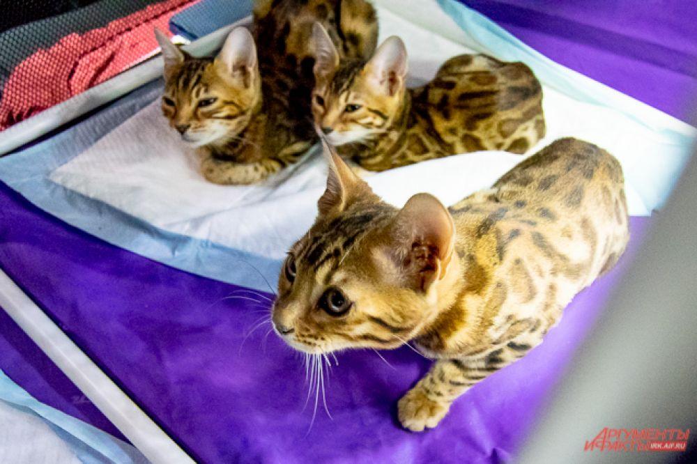 Бенгальские кошки очень любят воду, а их активность и игривость требует много свободного места. Их отличает яркий леопардовый окрас и гибкое телосложение, делающие их миниатюрной копией диких собратьев.