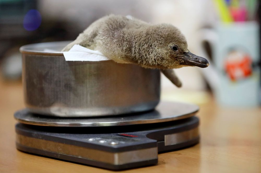 Новорожденного пингвина взвешивают в Пражском зоопарке.